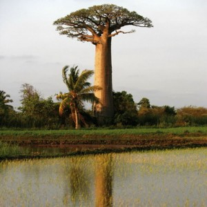 Le baobab sauvage bio produit la pain de singe